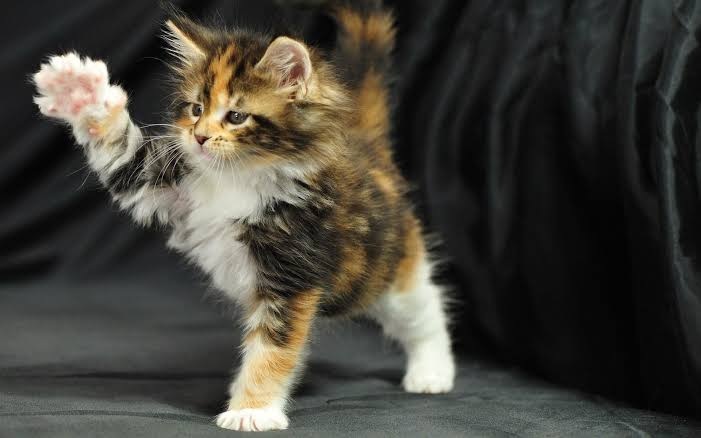 What Is The Best Breed Of Cat For First Time Owners?