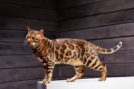 Why Bengal Cats Are Special