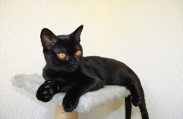 List Of 10 Black Cats Breeds With Description