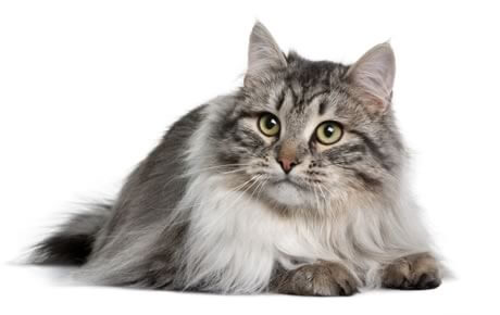Siberian Cat sitting image