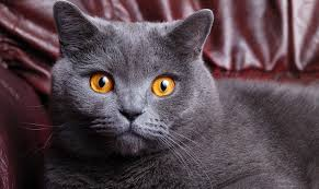 British Shorthair Cat HD image