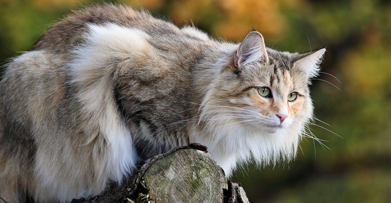 Norwegian Forest Cat sitting image