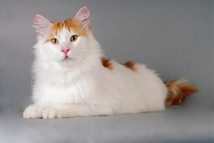 Turkish Van sitting