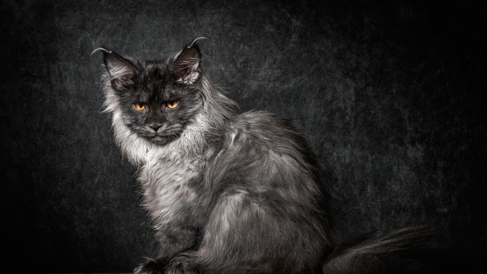 Maine Coon Cats sitting image