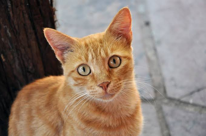 Common Causes Of Ear infection In Cat