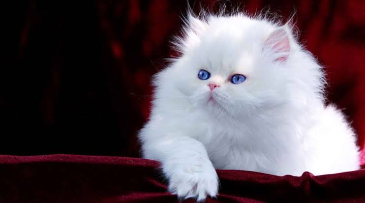How To Keep Persian Kitten Or Cat Healthy?